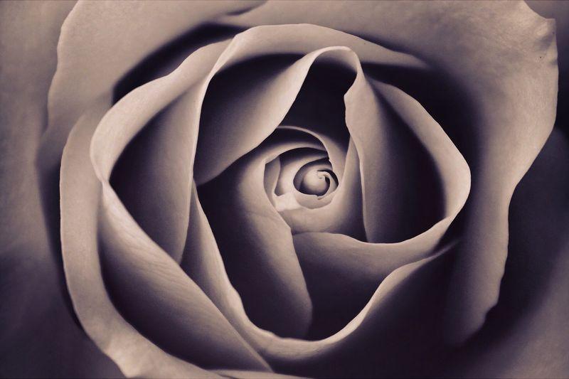 Photo of a Rose Closeup