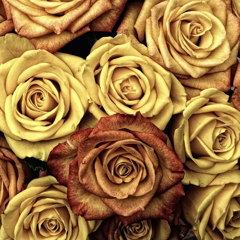 Photo of Roses