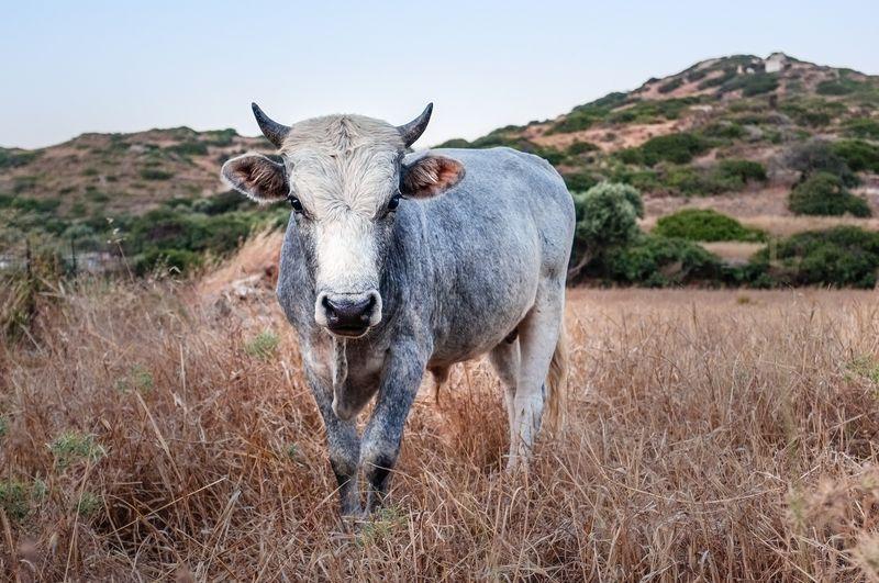 Photo of Bull in Grass