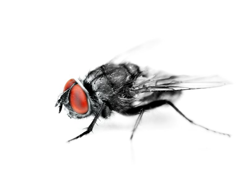 Photo of a House Fly Closeup