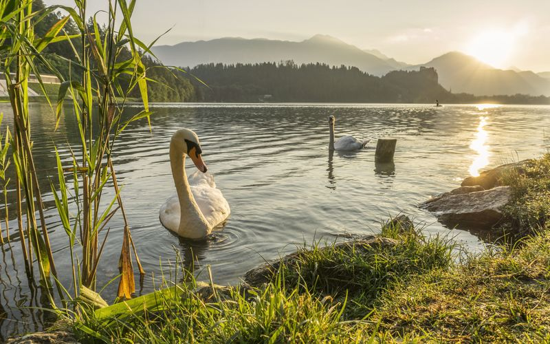 Photo of Swans in Lake