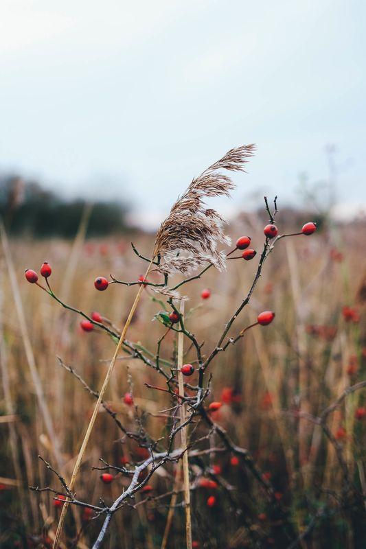 Photo of Wild Berries and Wheat