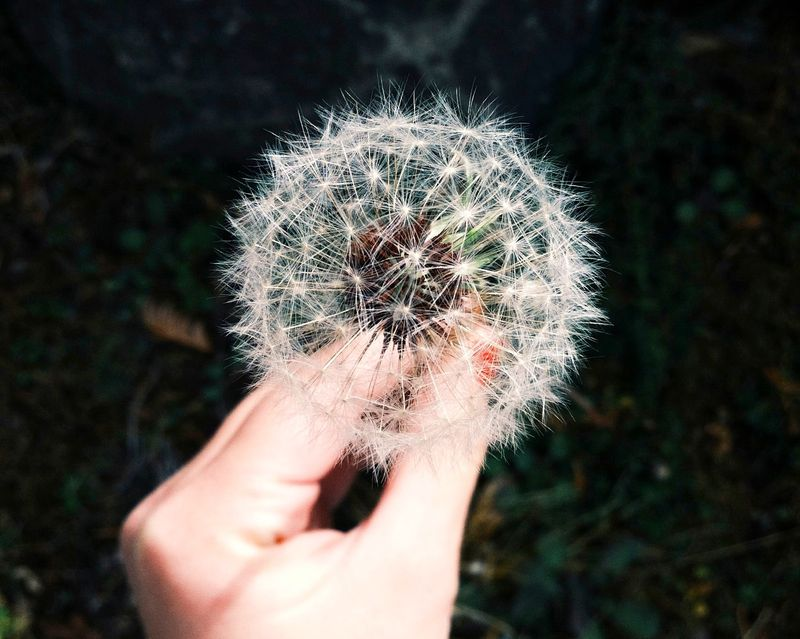Photo of Person Holding Dandelion