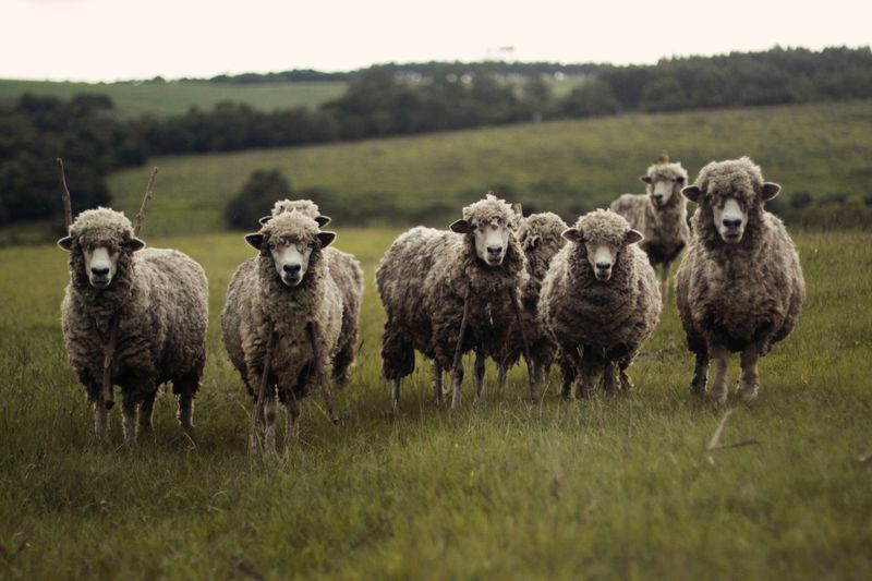 Photo of Flock of Sheep in a Field