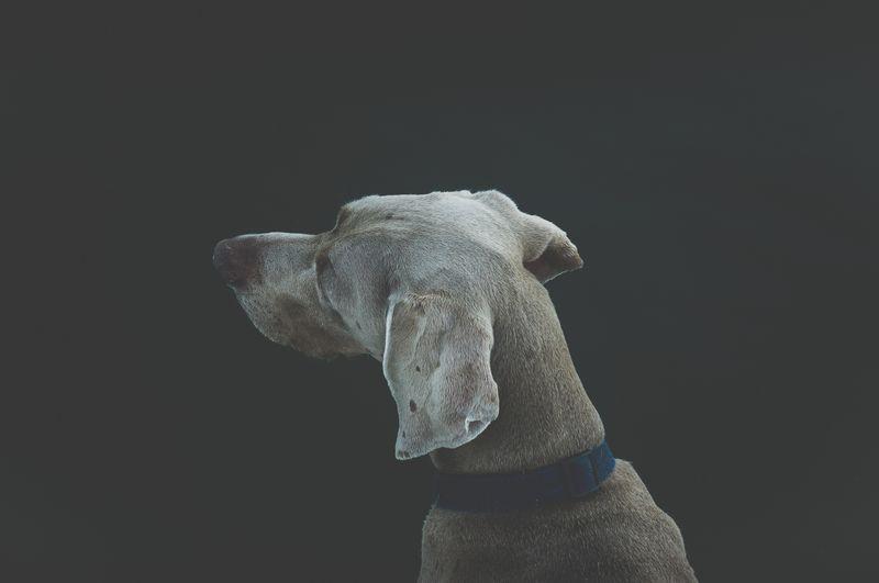 Photo of Weimaraner Dog Looking Away from Camera