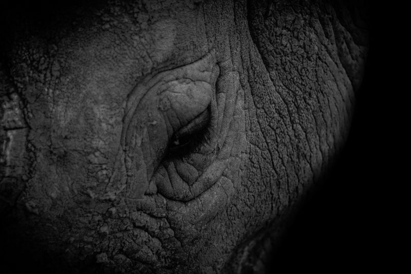 Photo of Elephant Eye Closeup