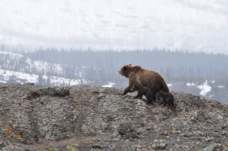Photo of Grizzly Bear and Two Cubs