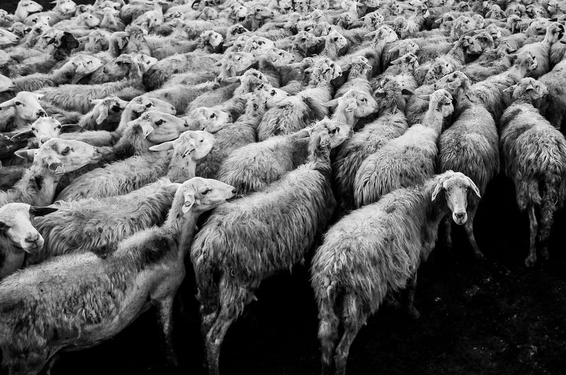 Photo of Flock of Sheep