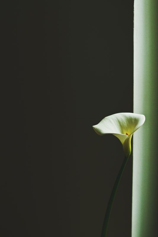 Photo of Easter Lily Illuminated from the Shadows