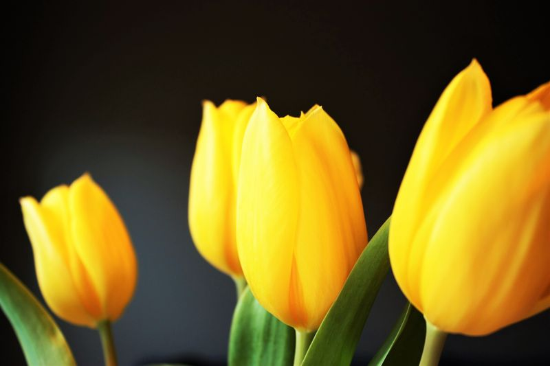 Photo of Yellow Tulips