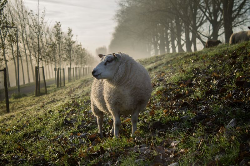 Photo of Sheep in Meadow