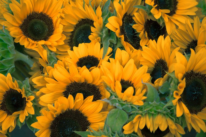 Photo of Bunch of Sunflowers
