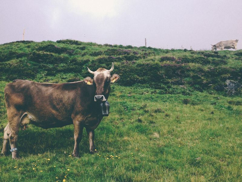 Photo of Cows Grazing