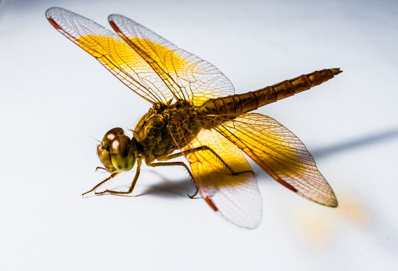 Photo of Dragonfly Closeup on a White Background