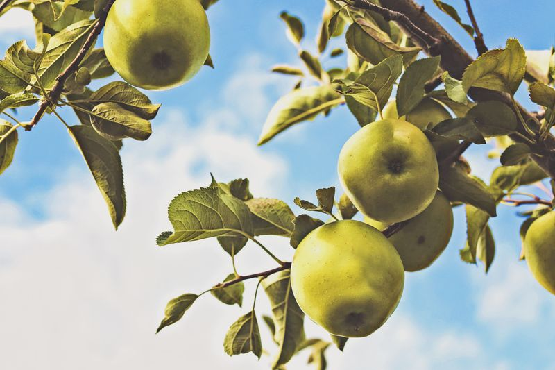 Photo of Green Apples on Tree