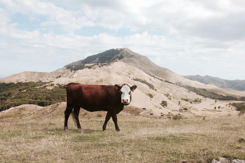 Photo of Cow in a Field