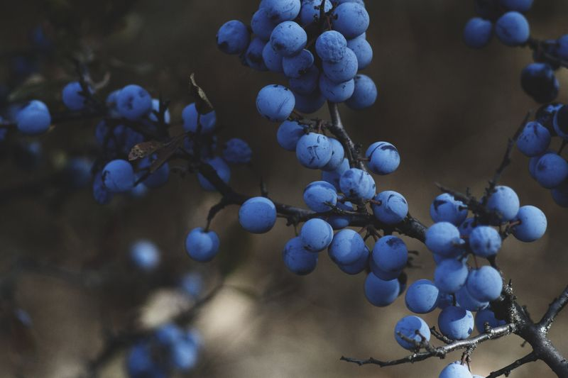 Photo of Blueberries on Branches