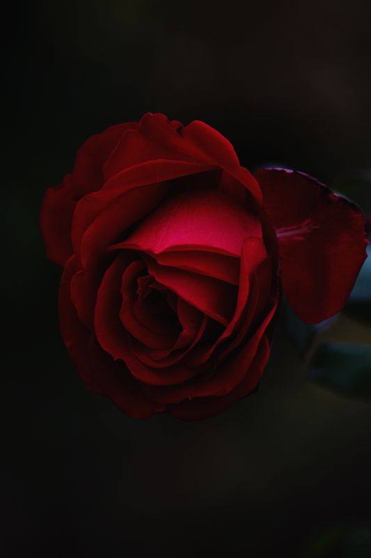 Photo of Single Rose
