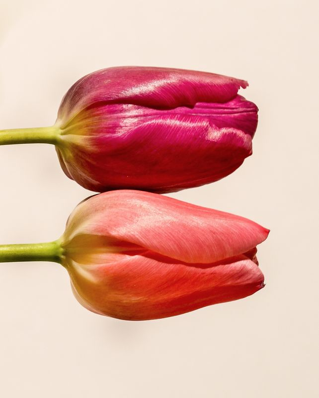 Photo of Two Tulips