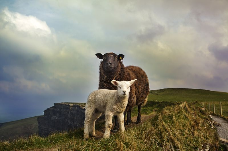 Photo of Sheep and Lamb