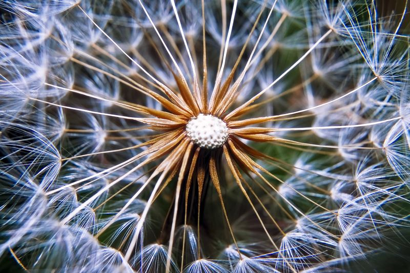 Photo of Dandelion Closeup
