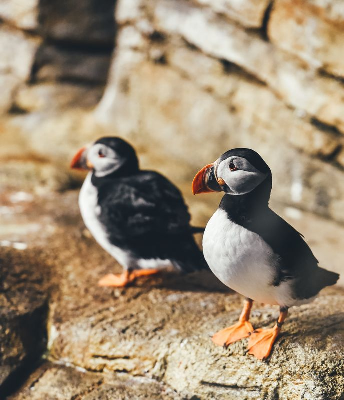 Photo of Two Puffins